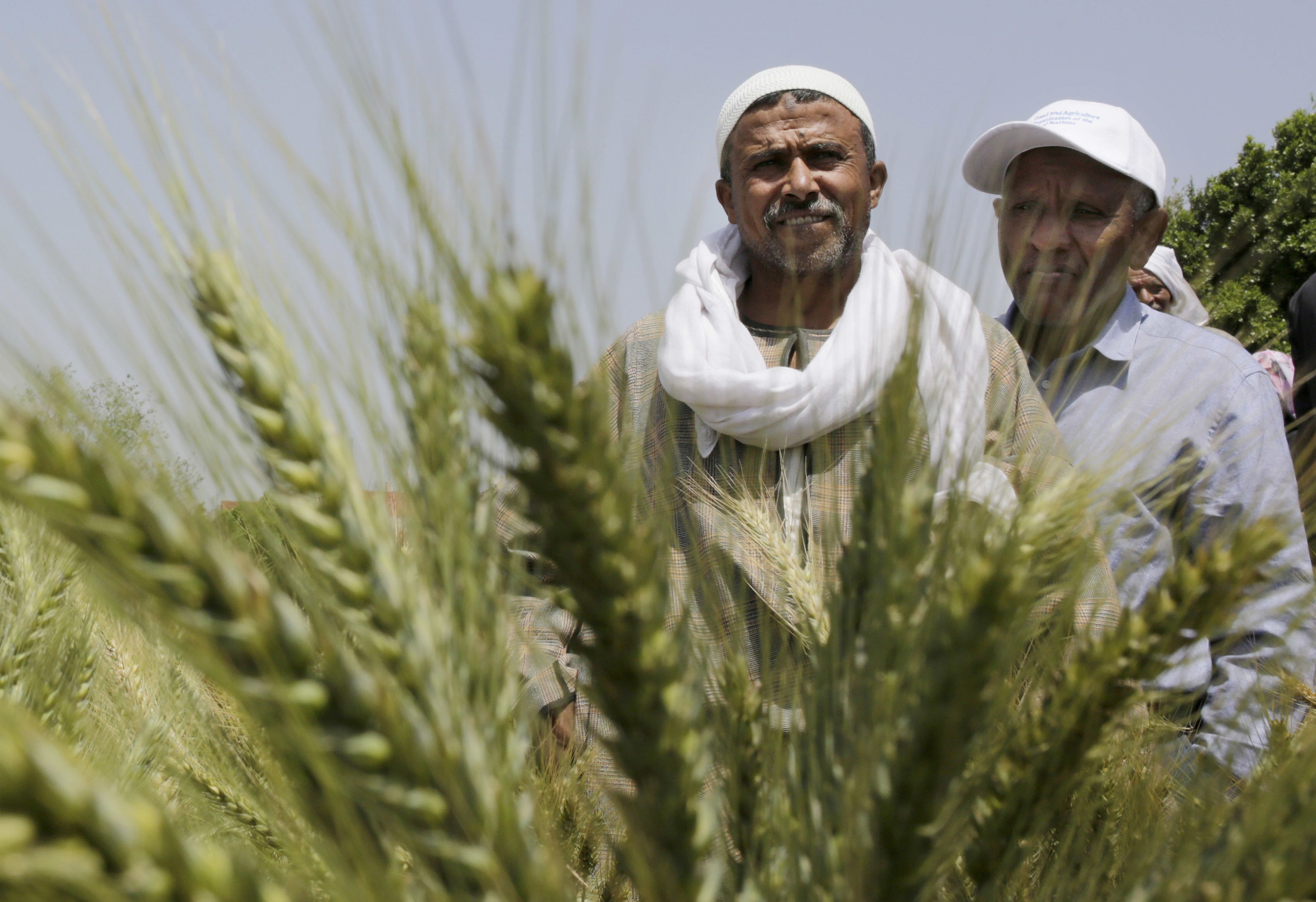 In this Monday, April 11, 2016 photo, Egyptian farmers stand in front of wheat crops on their land in Kafr Hamouda village, in Zagazig, 63 miles (100 kilometers) northeast of Cairo, Egypt. Farmers begin to use a small, relatively cheap plow allowing them to nearly double the yields of their wheat. The new technology could one day help Egypt alleviate water shortages that threaten to cripple the Arab world's most populous country. (AP Photo/Amr Nabil)
