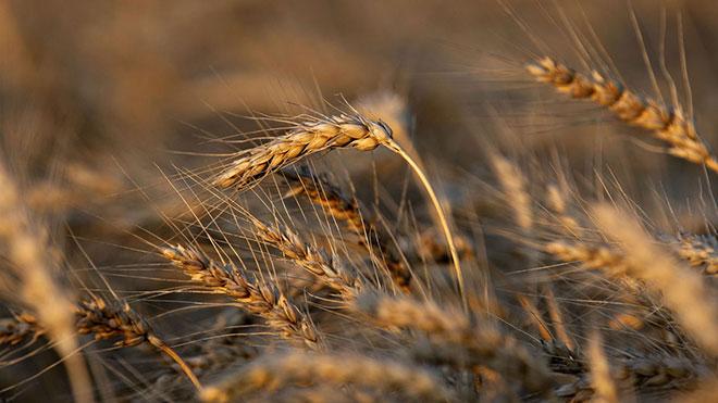 India wheat exports