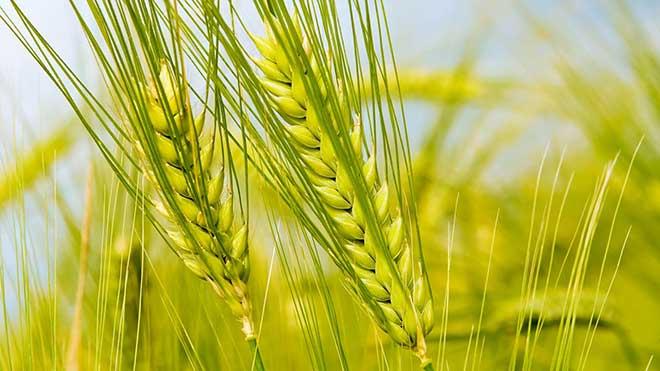 wheat breeding