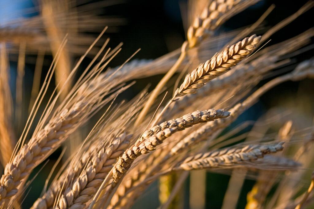 wheat stocks